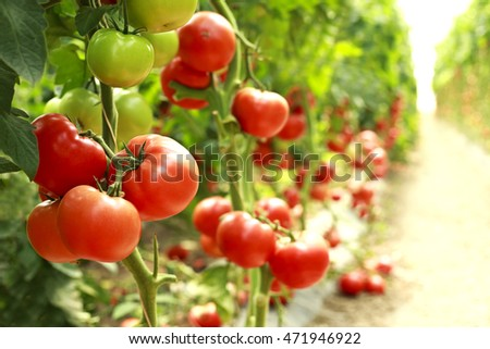 ripe tomatoes on a branch