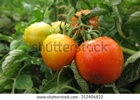 Ripe tomatoes with the rain drops in the summer garden - stock photo
