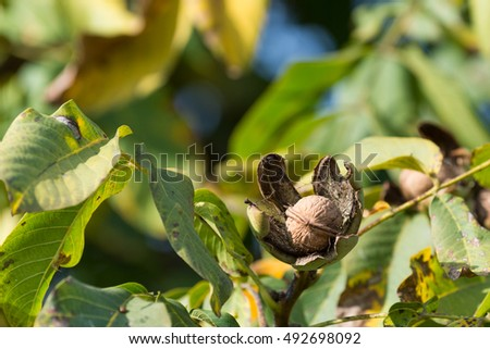 Ripe walnuts in the open shells in the autumn garden