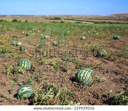 ripe watermelons in the field at august - stock photo