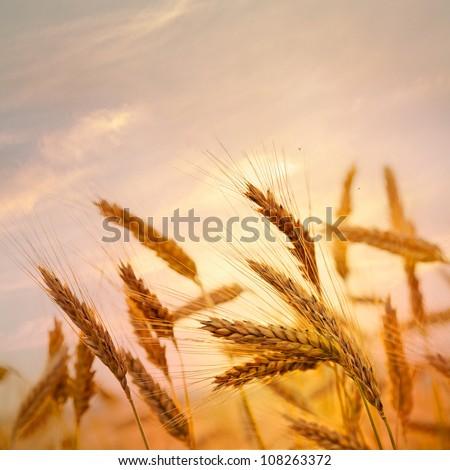 Ripe wheat at sunset. Landscape. - stock photo