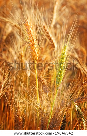 ripe wheat closeup