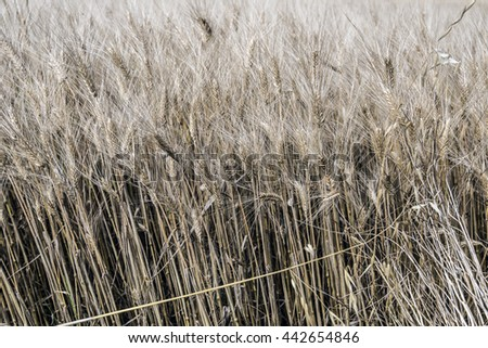 ripe wheat ears - stock photo