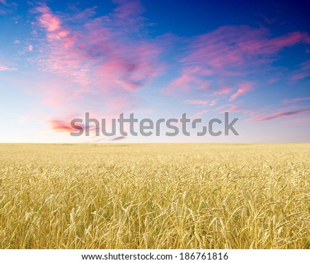 Ripe wheat ears against blue sky with clouds