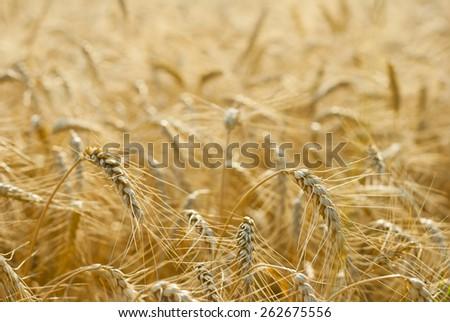 ripe wheat ears before harvest - stock photo