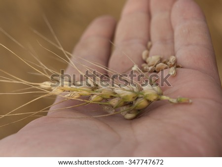 Ripe wheat ears on a human hand, on the background of a wheat field - stock photo