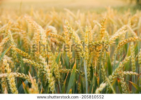 Ripe wheat ears on field as background, horizontal