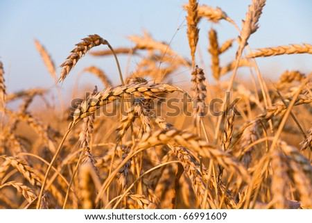 Ripe wheat ears on the field in late afternoon sunlight - stock photo