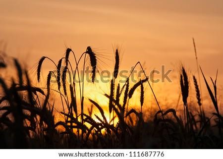 Ripe wheat field under an orange sky - stock photo