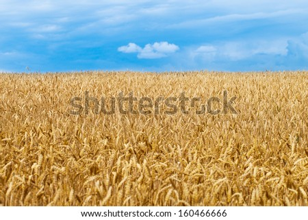 Ripe wheat field under cloudy sky. - stock photo