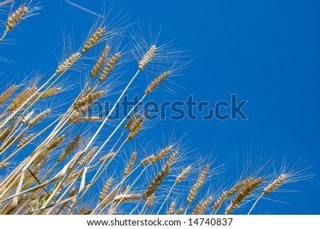 Ripe wheat in a field over sky background