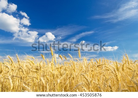Ripe wheat on a beautiful summer day