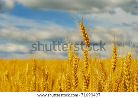Ripe wheat spikes in the field against blue cloudy sky - stock photo