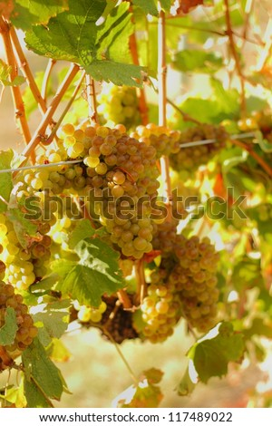 Ripe, White Wine Grapes, Okanagan. White wine grapes ripen on the vine under the hot Okanagan sun. Okanagan Valley near Osoyoos, British Columbia, Canada. - stock photo