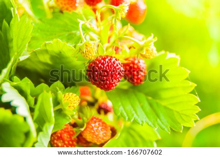 Ripe wild strawberry in green forest close-up
