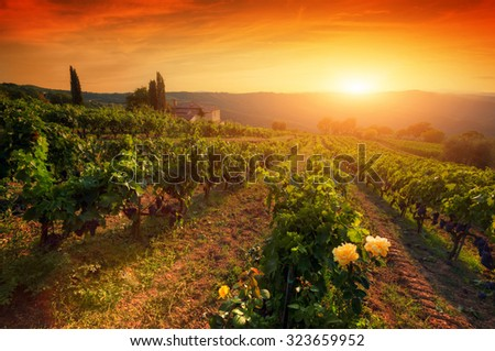 Ripe wine grapes on vines in Tuscany, Italy. Picturesque wine farm, vineyard. Sunset warm light - stock photo