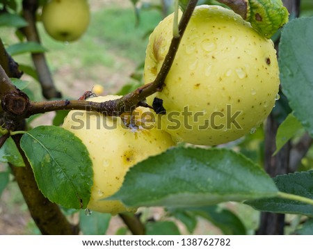 Ripe yellow apple on the tree after a storm