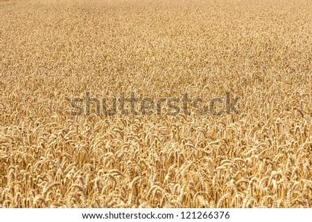 Ripe yellow ears of wheat - stock photo