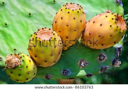 Ripe yellow prickly pears (cactus fig) - stock photo