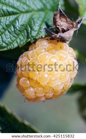 Ripe yellow raspberries close-up on blurred background.Selective focus,shallow DOF.Season of raspberries in the garden.The time of harvest/Fresh Juicy raspberries on the branch,green nature background - stock photo