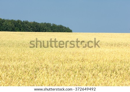 Ripe yellow wheat with stalks of grain. golden wheat field and sunny day. Detail of the ripe wheat Field - stock photo
