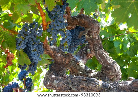 Ripe ZInfandel grape clusters ready for harvest on gnarled old grape vine. - stock photo