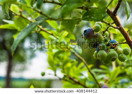 Ripen blueberries on the bush branches after rain in the garden - stock photo
