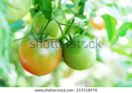 ripen tomatoes natural on branch - stock photo