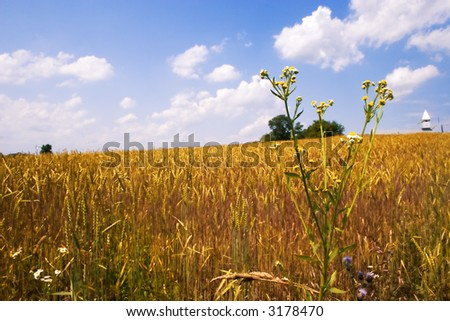 ripened golden wheat field