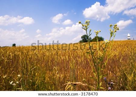 ripened golden wheat field - stock photo