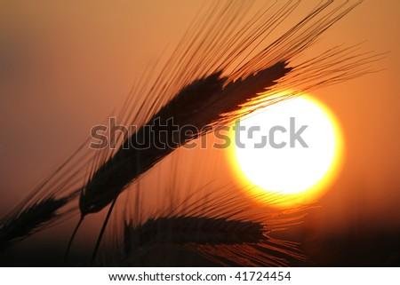 Ripened grain ready for harvest, Holland - stock photo