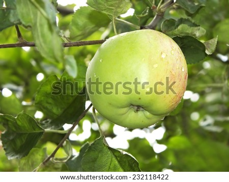 Ripening big apple fruit with water droplets hanging on a branch - stock photo