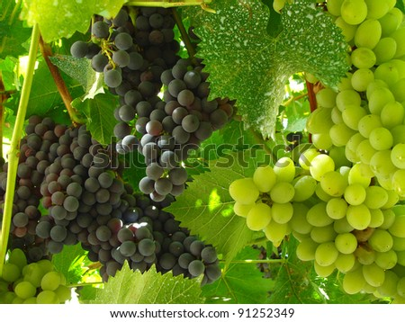 ripening black and white grape clusters on the vines - stock photo