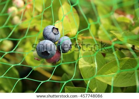 Ripening Blueberries - stock photo