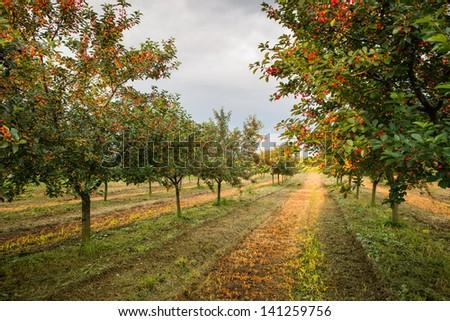 Ripening cherries on orchard tree - stock photo