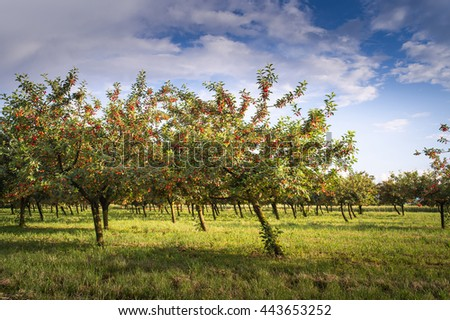 Ripening cherries on orchard tree in the sun - stock photo