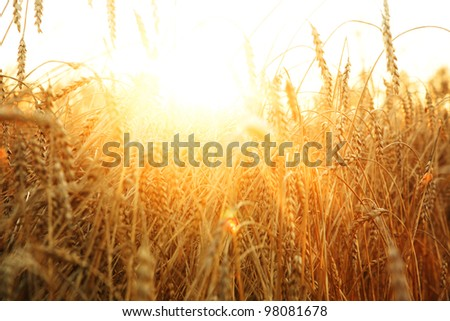 ripening ears of wheat field on the background of the setting sun - stock photo