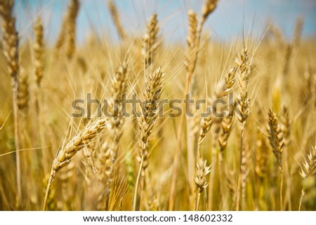 ripening ears of wheat field on the background of the setting sun on blue sky with clouds Wheat field and blue sky