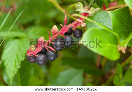 Ripening edible salal berries, Gaultheria shallon, native to western North America. - stock photo
