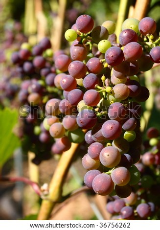Ripening grapes in setting sunlight - stock photo