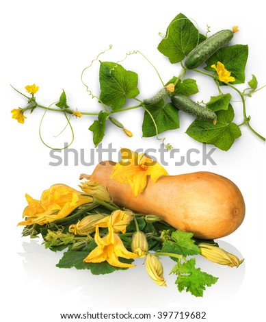 Ripening large raw succulent courgette cucurbitaceae family production grow on vine twig with vivid green leaves and big bright orange buds. Close-up view with clipping path - stock photo