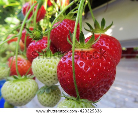 Ripening of strawberries from hydroponically cultivated plants at a convenient picking height in a specialized Dutch greenhouse horticulture business - stock photo