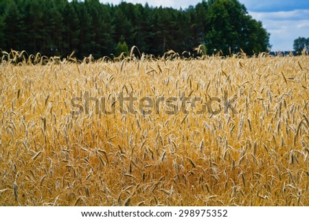 Ripening rye in the field - stock photo