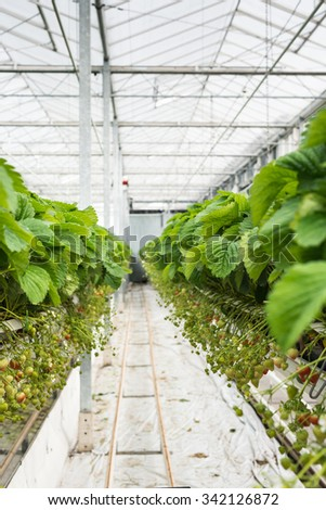 Ripening strawberries on the plants in a large specialized horticultural company. - stock photo