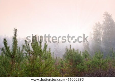 rising sun in haze forest clearing with young firs - stock photo