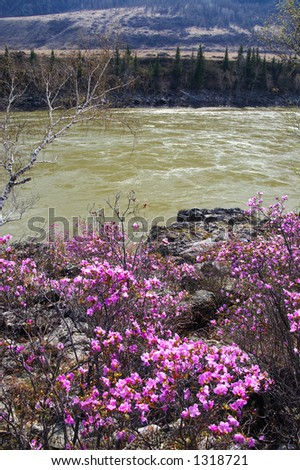 river and spring's flower. Altay