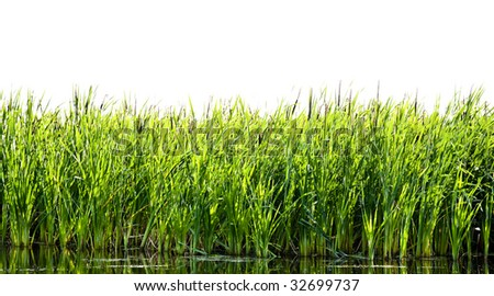 River cane - stock photo