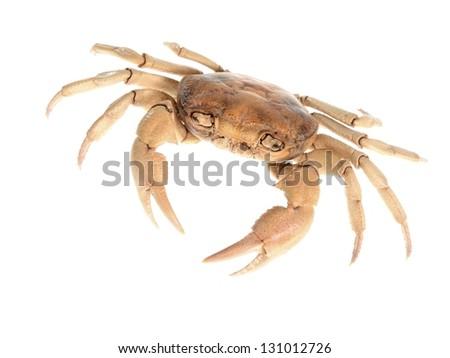 River crab potamon isolared on white - stock photo