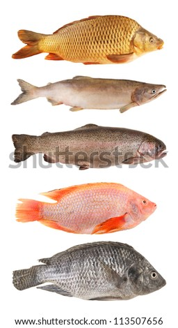 River fish collection isolated on white background - stock photo