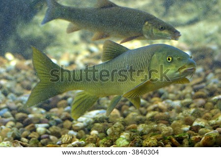 River fishes living in Aquarium